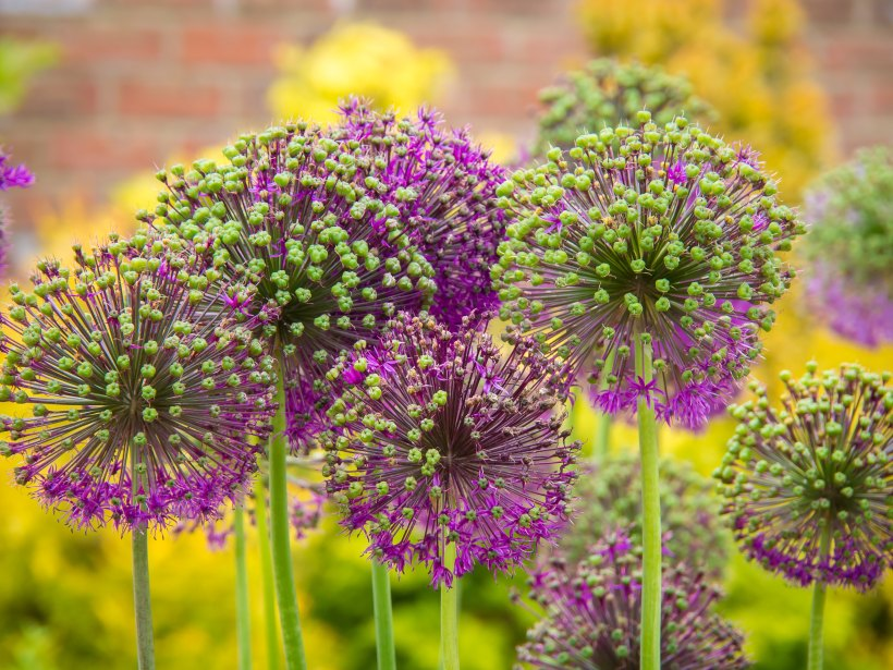photo of a cluster of green and purple dandelion-type flowers