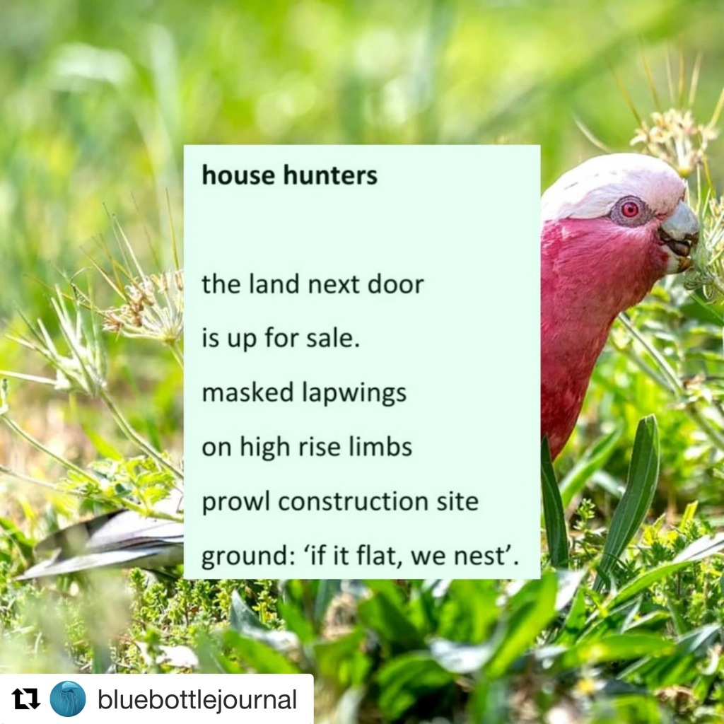 Photo of a pink and grey galah eating grass seeds with following text: the land next door  is up for sale. masked lapwings  on high rise limbs prowl construction site  ground: 'if it flat, we nest'.